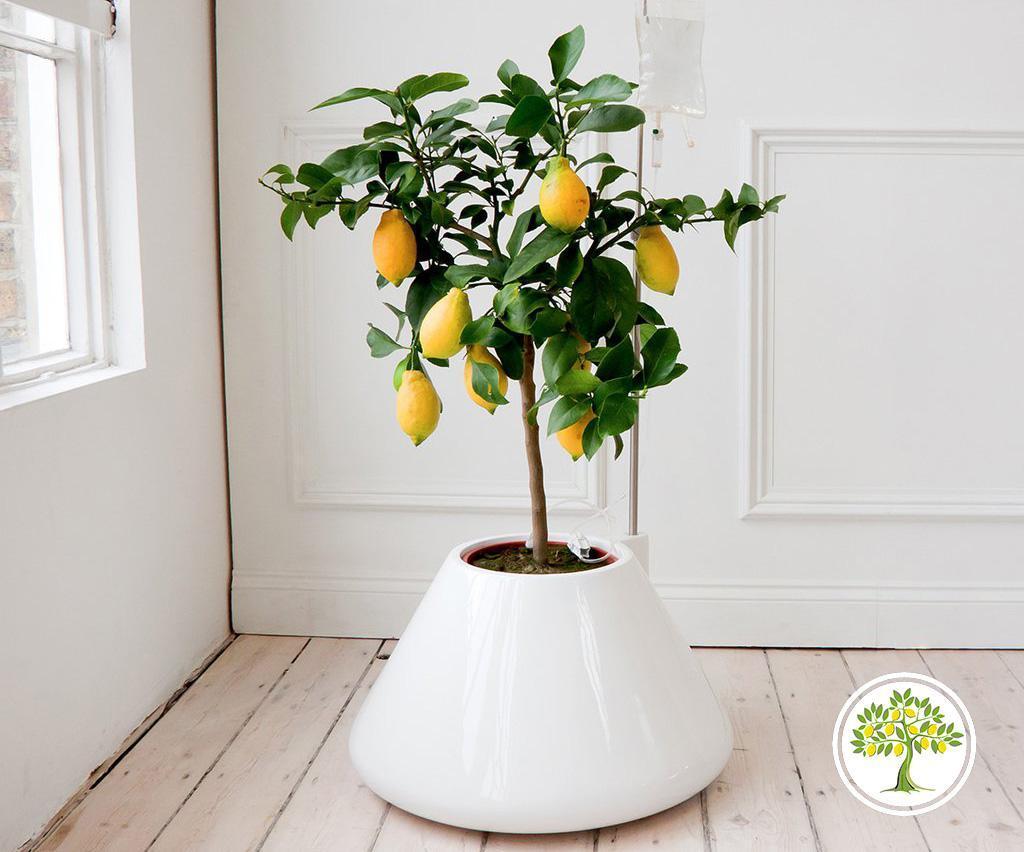 Подкормка лимона и уход за цитрусовыми весной