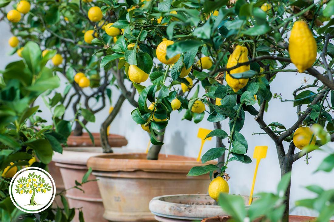 Лимонное дерево в глиняном горшке