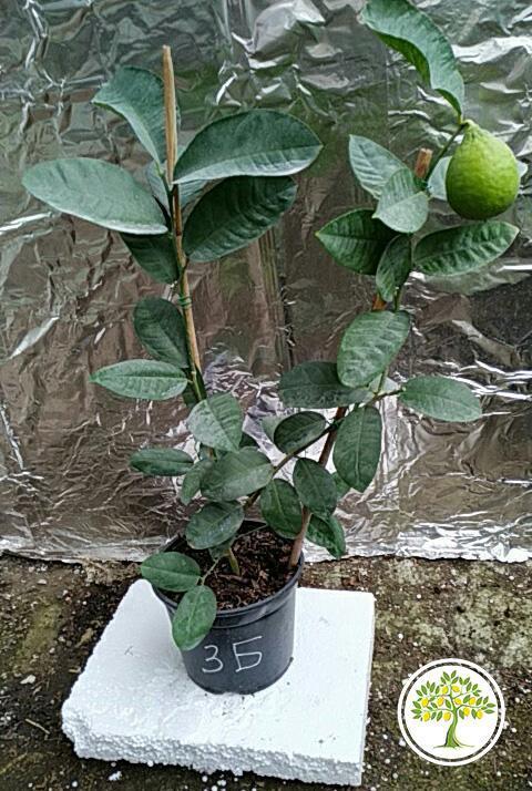 Юбилейный лимон фото