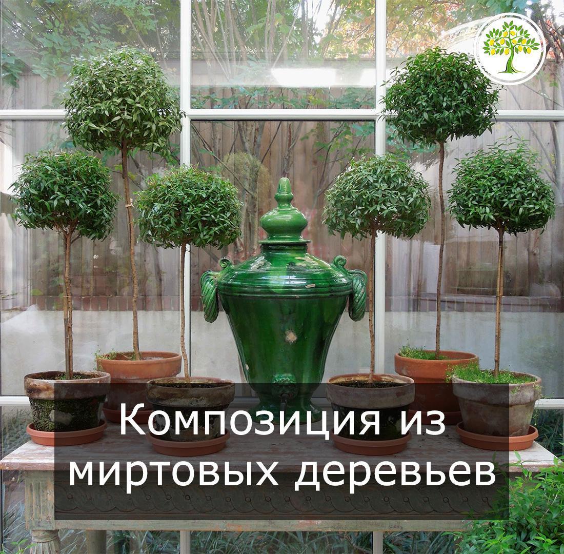 Миртовое дерево в интерьере фото