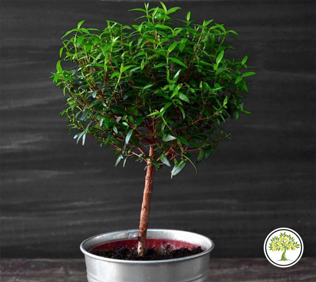 Купить миртовое дерево в горшке