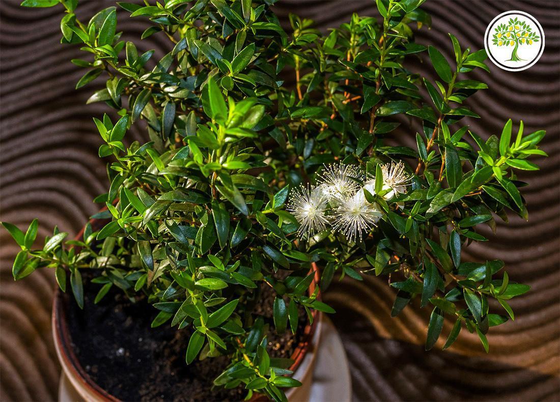 Мирт мелколистный комнатный цветение