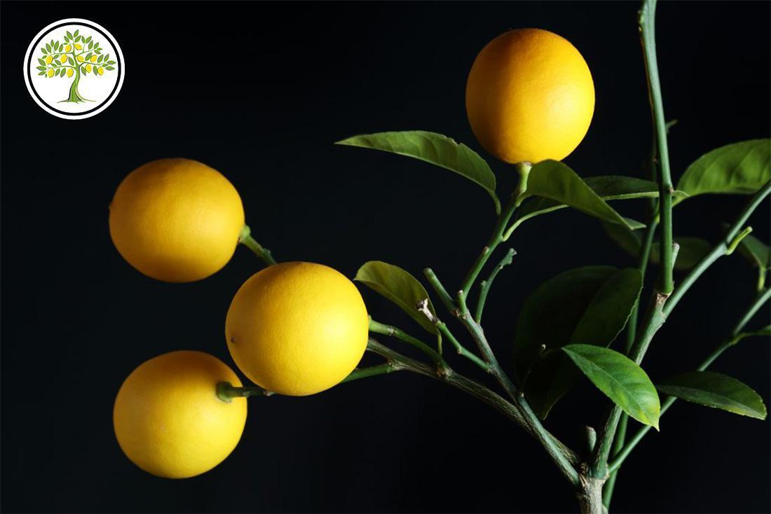 Лимон теряет листья фото