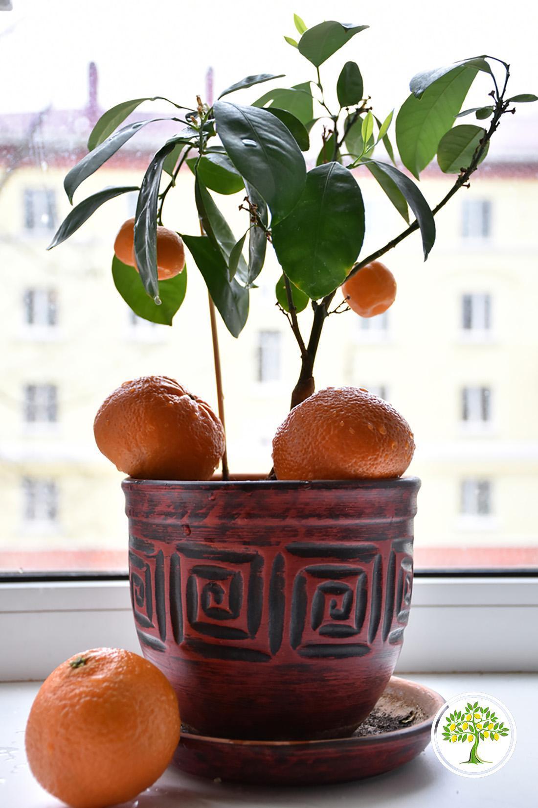 Саженец домашнего мандарина фото
