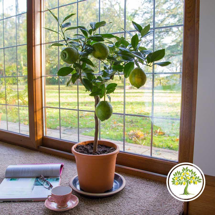 Саженец лимона на окне фото