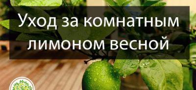 Уход за комнатным лимоном в весенний период