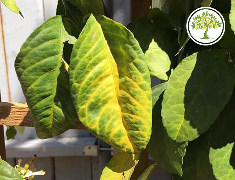 Желтые листья лимона от залива корней