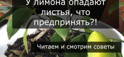 Опадают листья лимона, действия