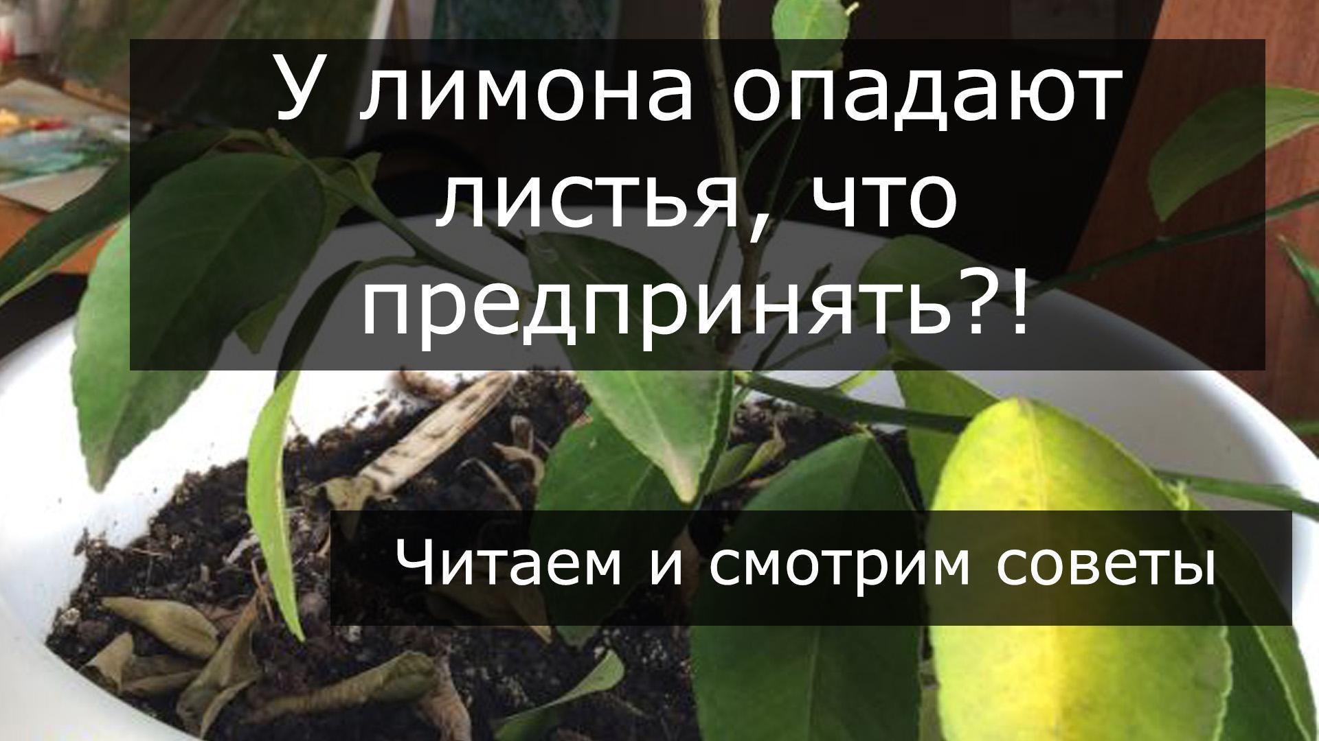 Почему у лимона опадают листья и что делать? || Почему облетают зеленые листья