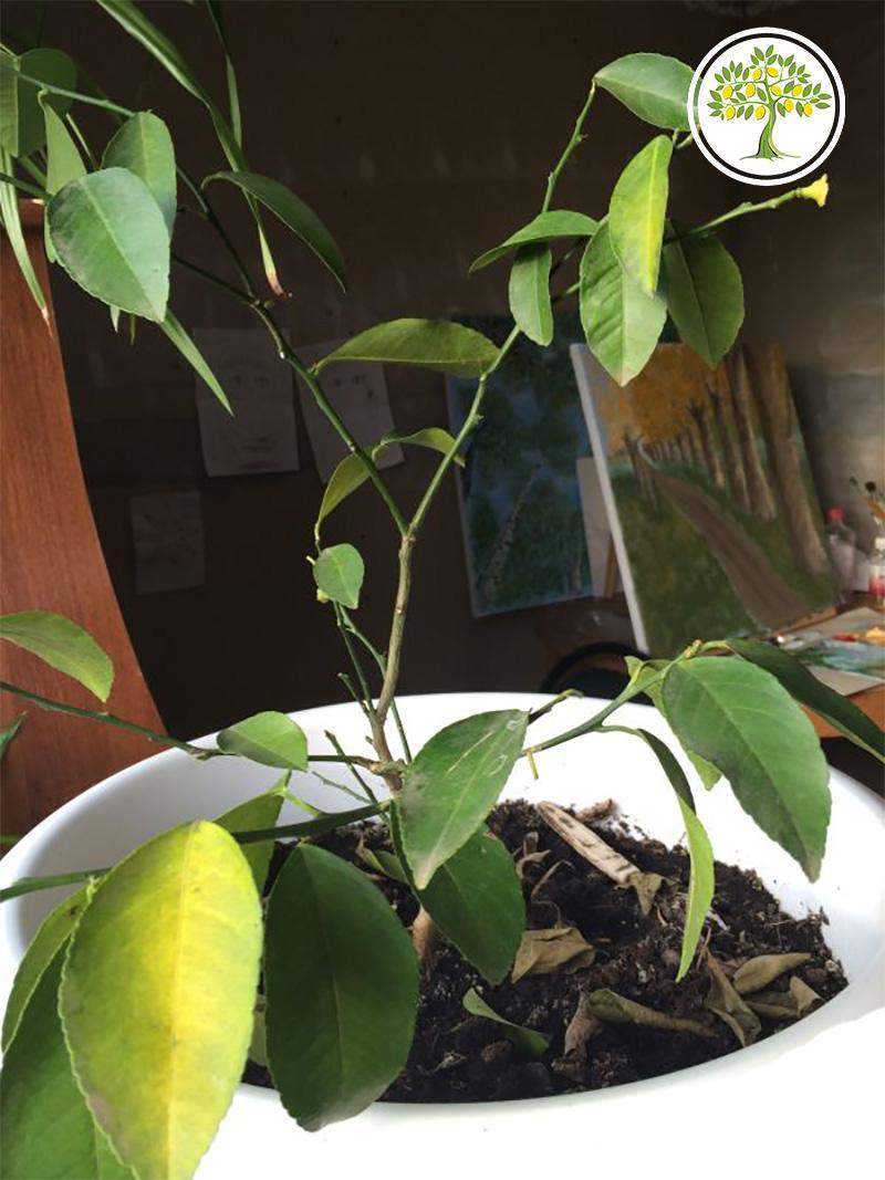 Лимон сбрасывает листья