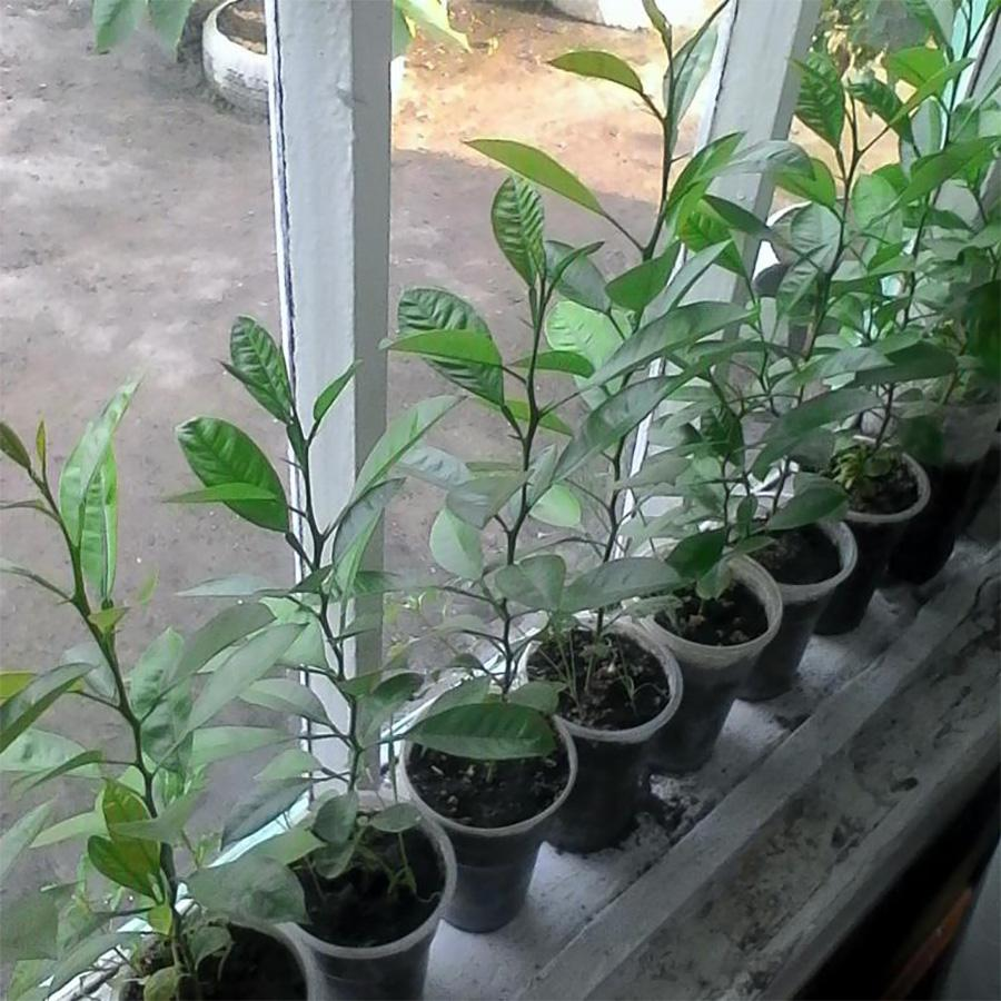 Саженцы мандарина из косточки - фото