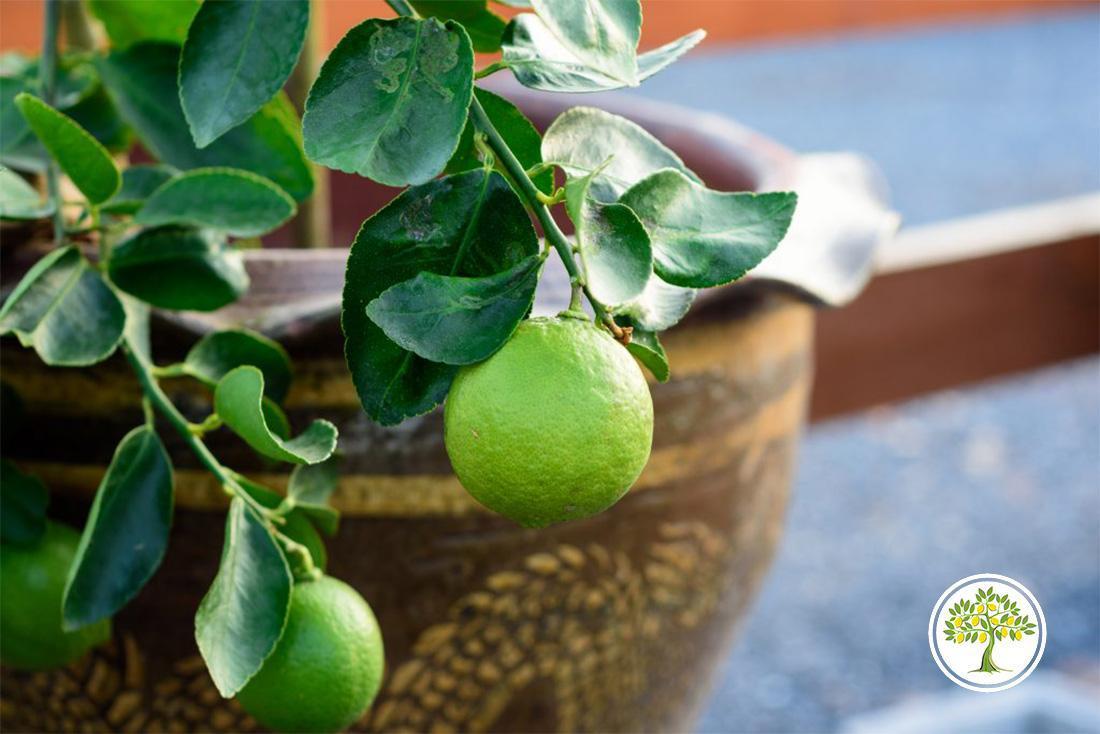 Цитрусовое растение с плодами дома