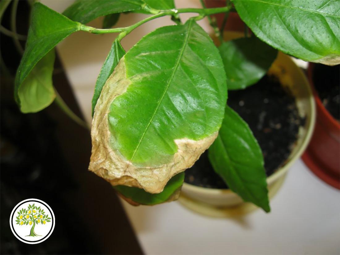 Чернеют листья лимона