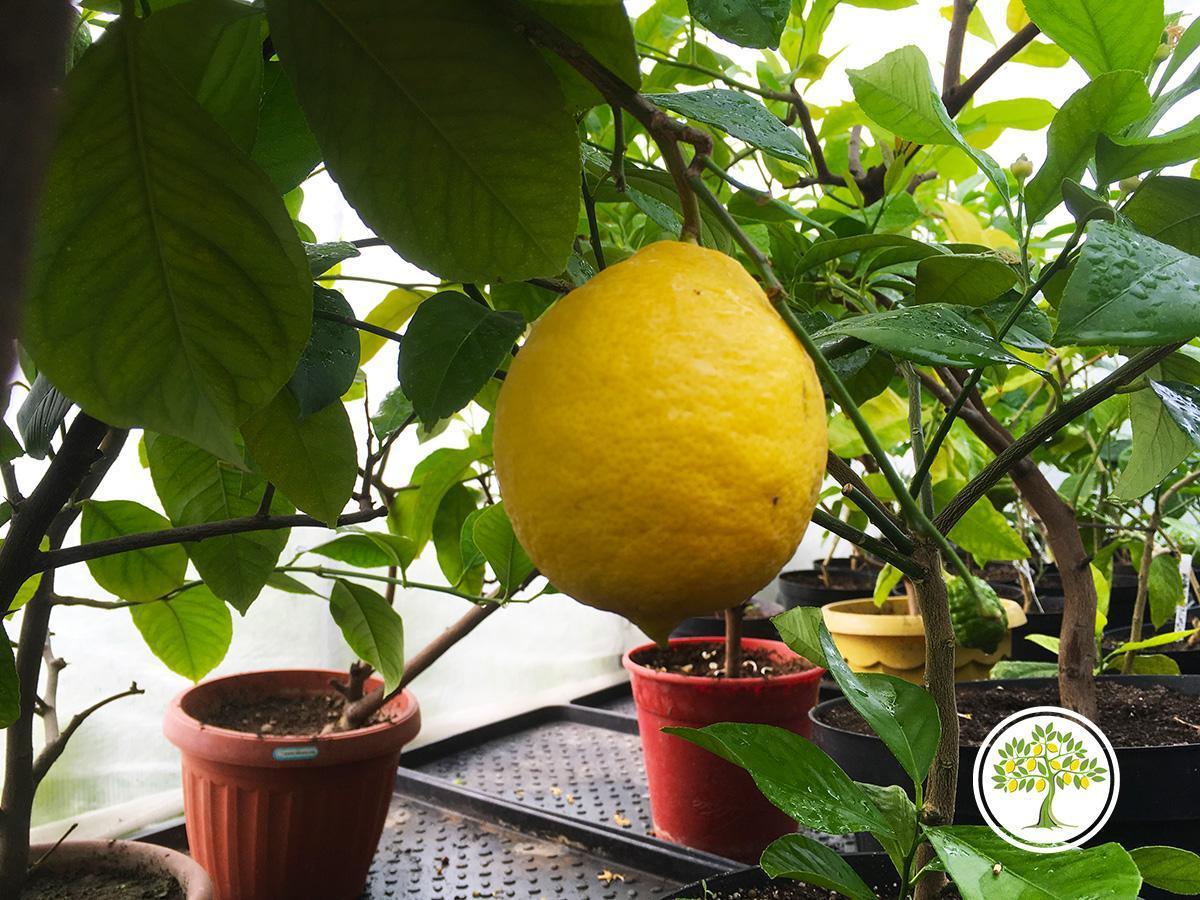 Питомник Павловский лимон официальный сайт