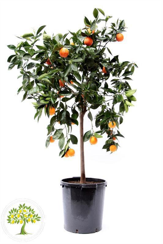 Фото апельсинового дерева в горшке