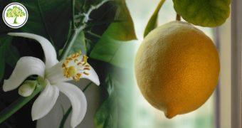 Изображенеие цветущего лимонного дерева