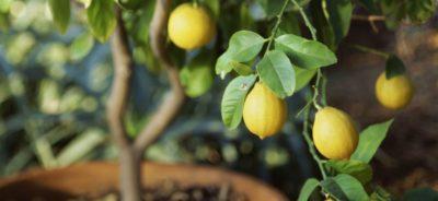 Изображение лимонного дерева