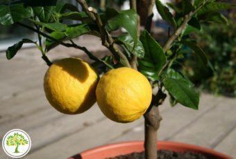 Фото Лимонное дерево с плодами
