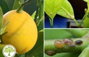 Вредители на лимонном дереве