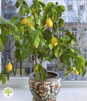 Фото Павловский лимон