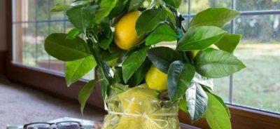 Фото Лимонного дерева