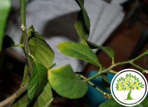 Фото Листья лимонного дерева