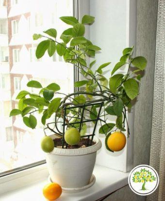 Фото Солнце и лимонное дерево