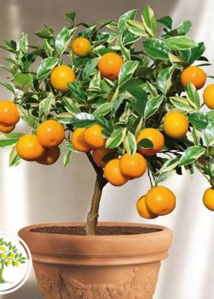 Фото мандарина выращенного из косточки