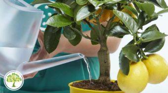 Фото ухода за лимоном