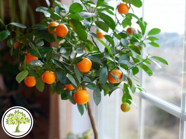 Фото апельсинового дерева