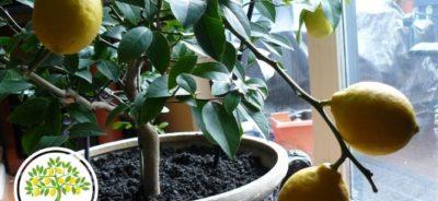 Фото Лимонное дерево с почвой