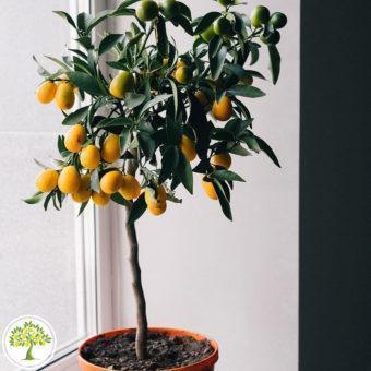 Фото ремонтантных апельсинов