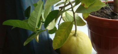 Фото плодоносящего лимона