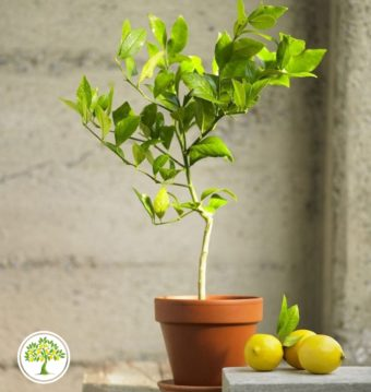 Изображение плодоносящего лимонного дерева