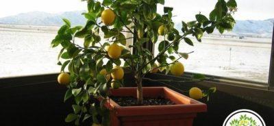 Фото домашнего лимонного дерева