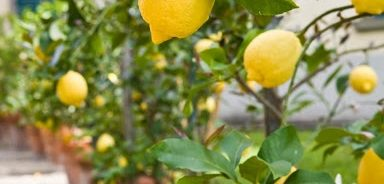 картинка плоды лимона