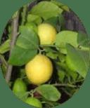 Фото юбилейного плода