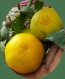 Картинка лимона