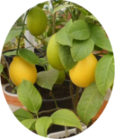 Лимонные плоды