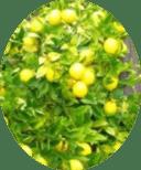 Картина плодов лимона
