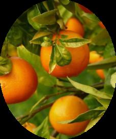 Фото домашних мандаринов