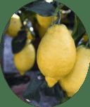 Новозеландские лимоны