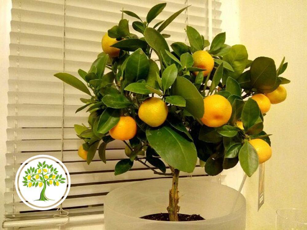 Цитрусовое растение из питомника