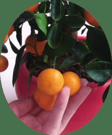 Фото плода мандарин