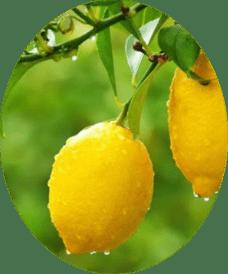 картинка плод лимона