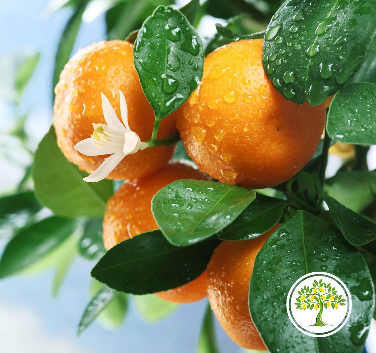Цветущий апельсин с плодами