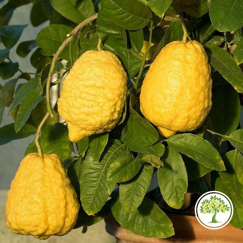 Фото плодов цитрона