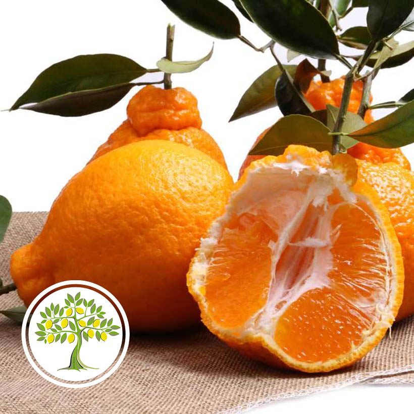 Апельсиновое дерево из питомника