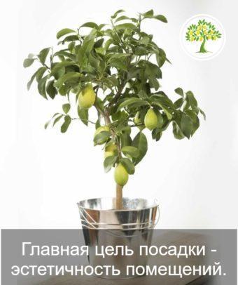 Фото декоративного лимона