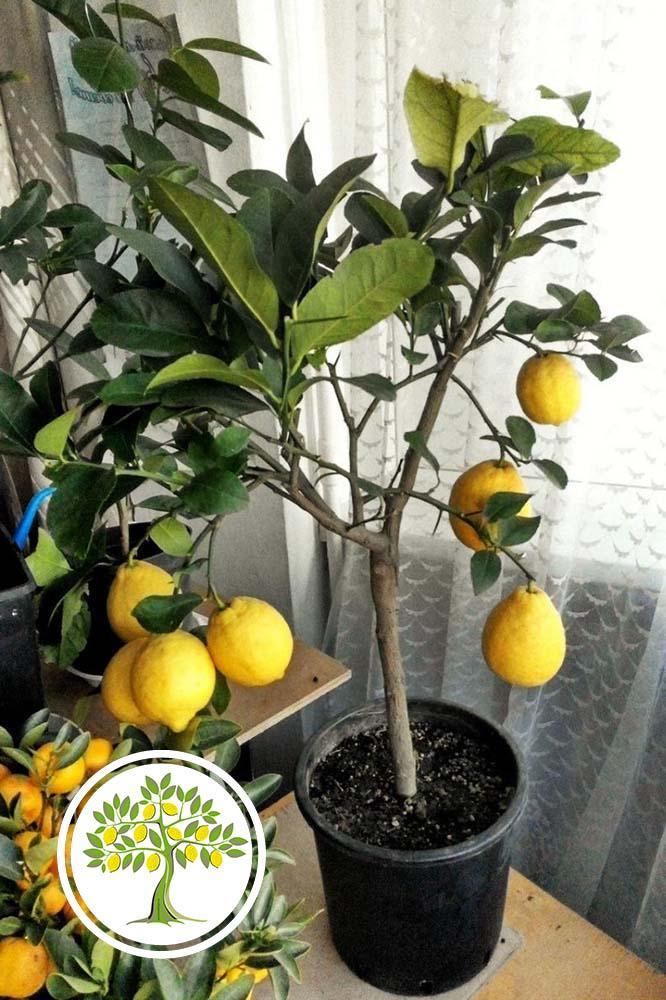 Фото лимона с вредителями
